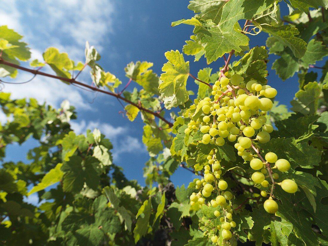 White wine grapes on a vine, Lanzarote