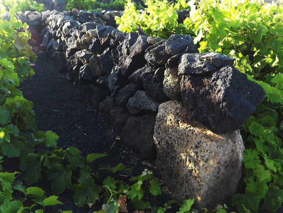 A stone wall between vineyards, Lanzarote