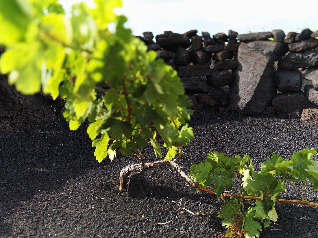 A vine growing between a stone wall, Lanzarote