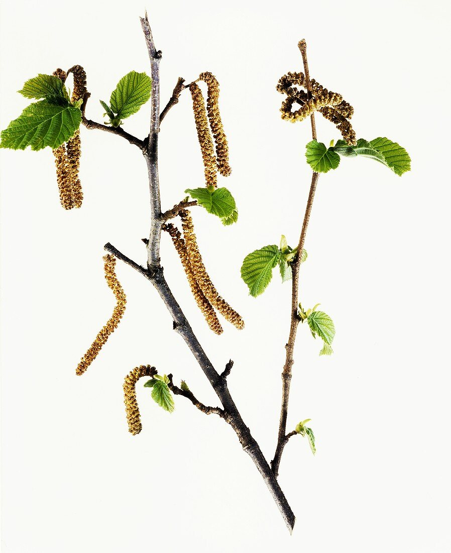 Birch branch with catkins