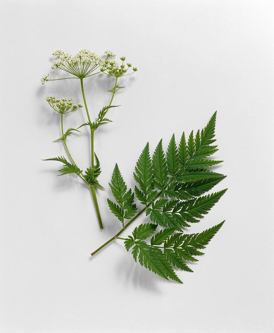 Sweet cicely with flowers and leaf (Myrrhis odorata)