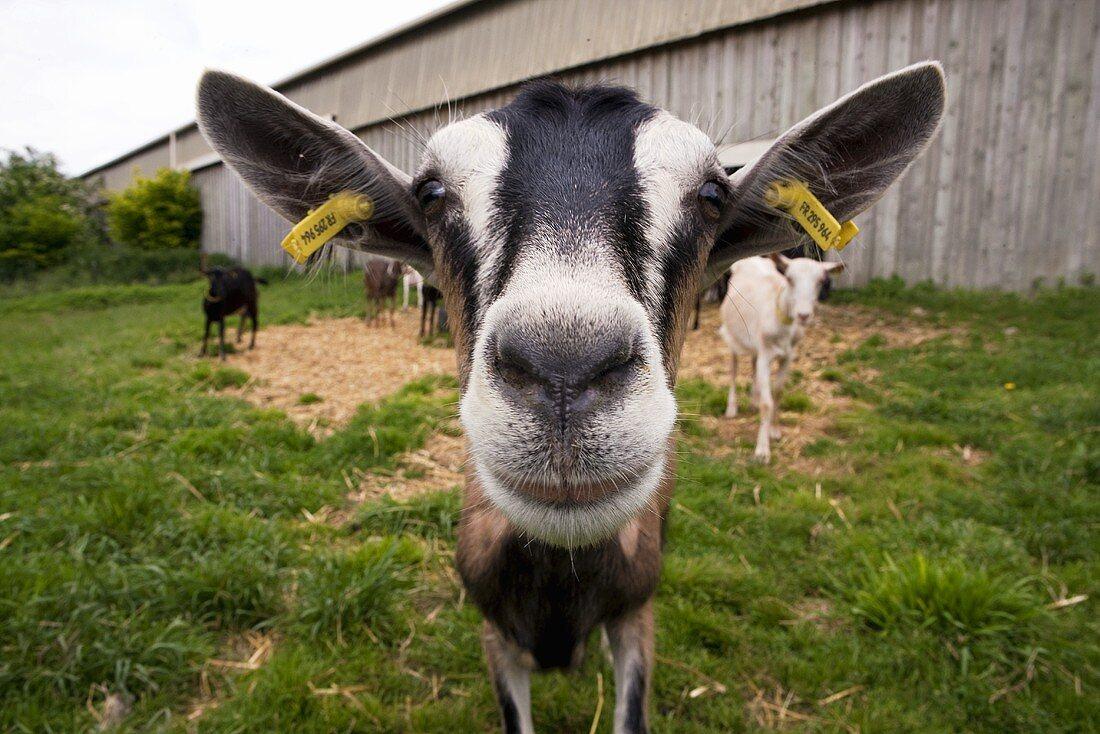 Goats on a farmyard (Ferme du Bois-Rond in Pussigny, France)