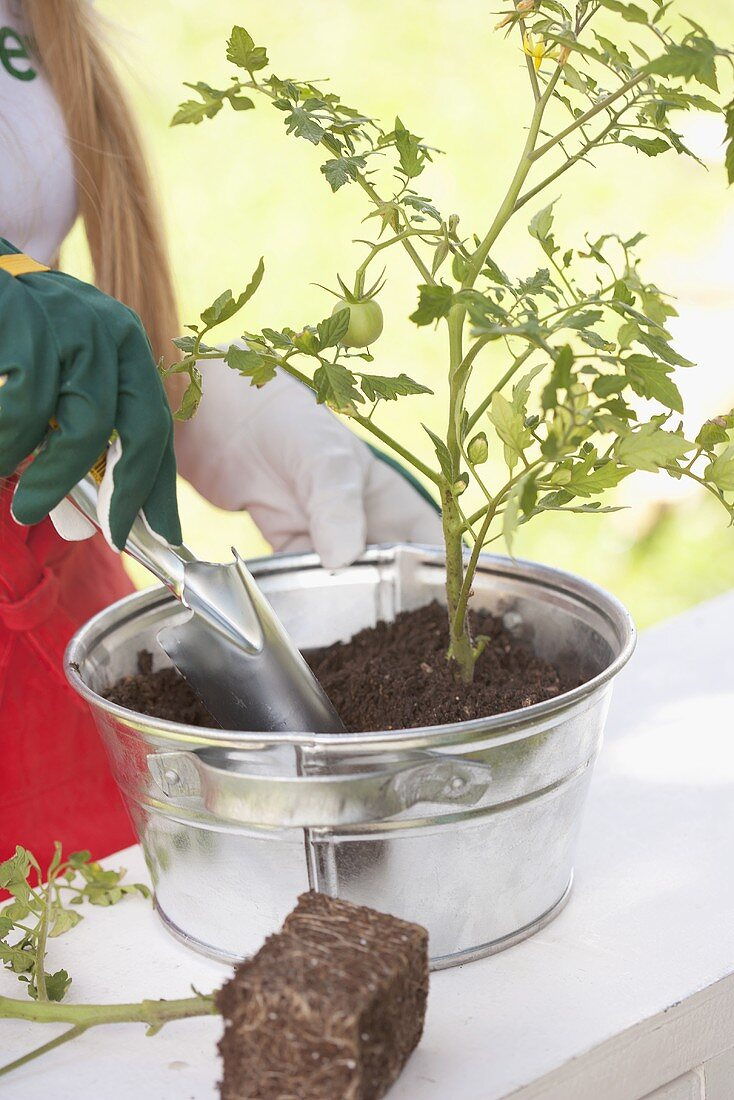 A tomato plant being planted