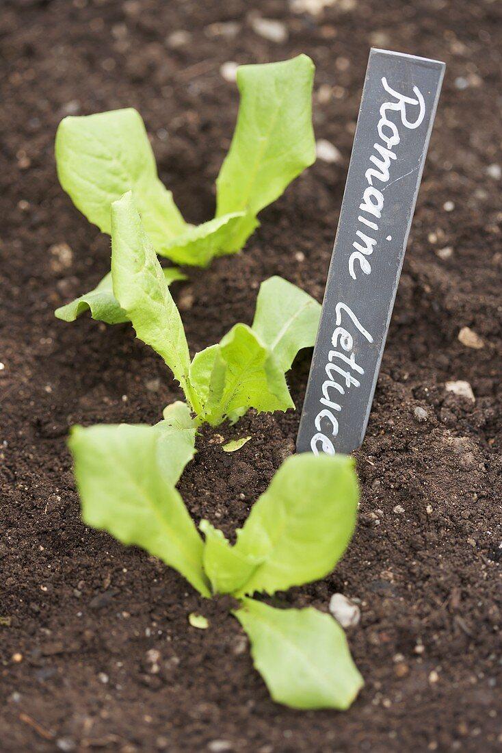 A cos lettuce seedling in a flower bed
