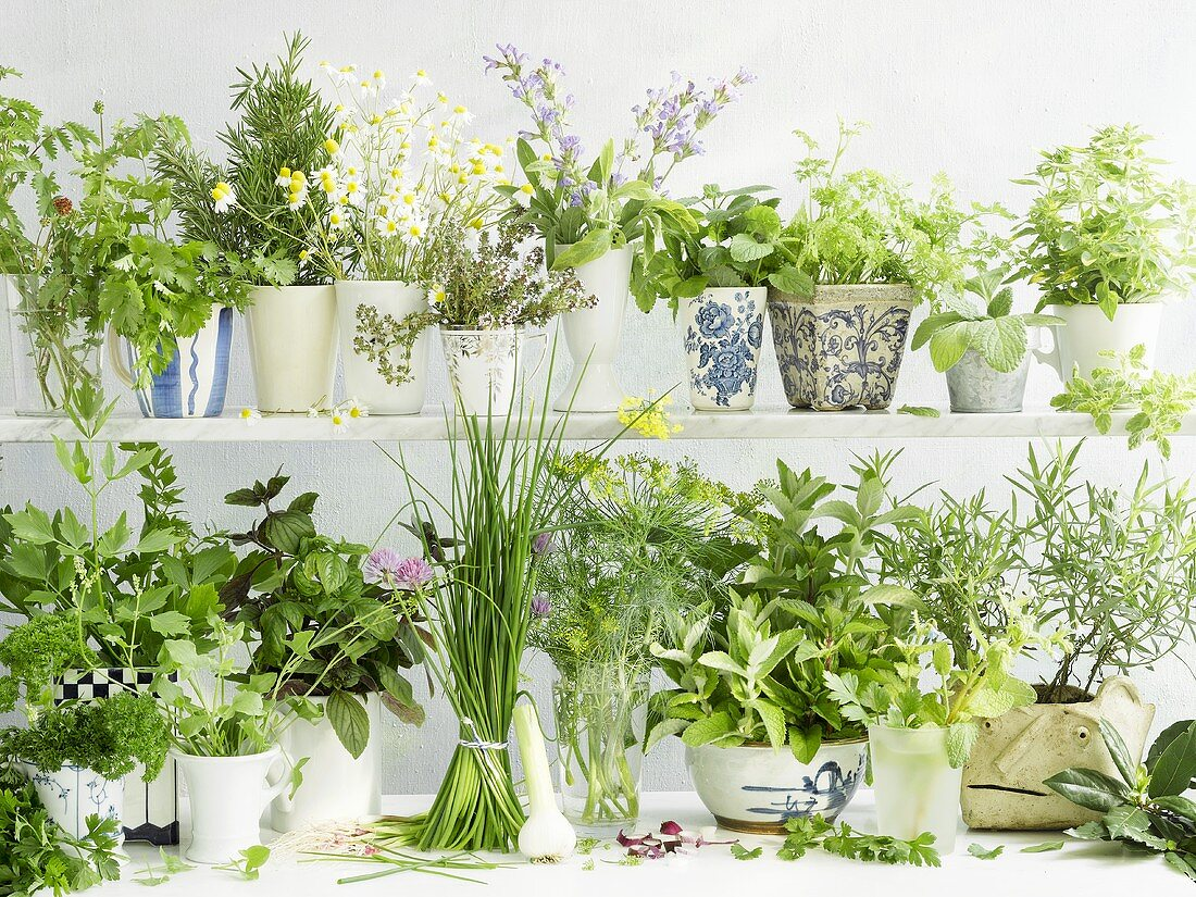 Many different fresh herbs in mugs, vases and pots