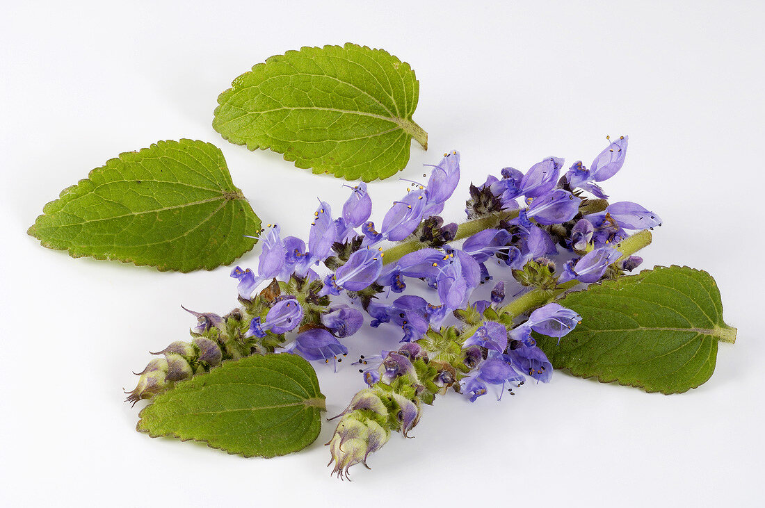 Makandi (Coleus forskohlii) - Ayurvedic medicinal plant