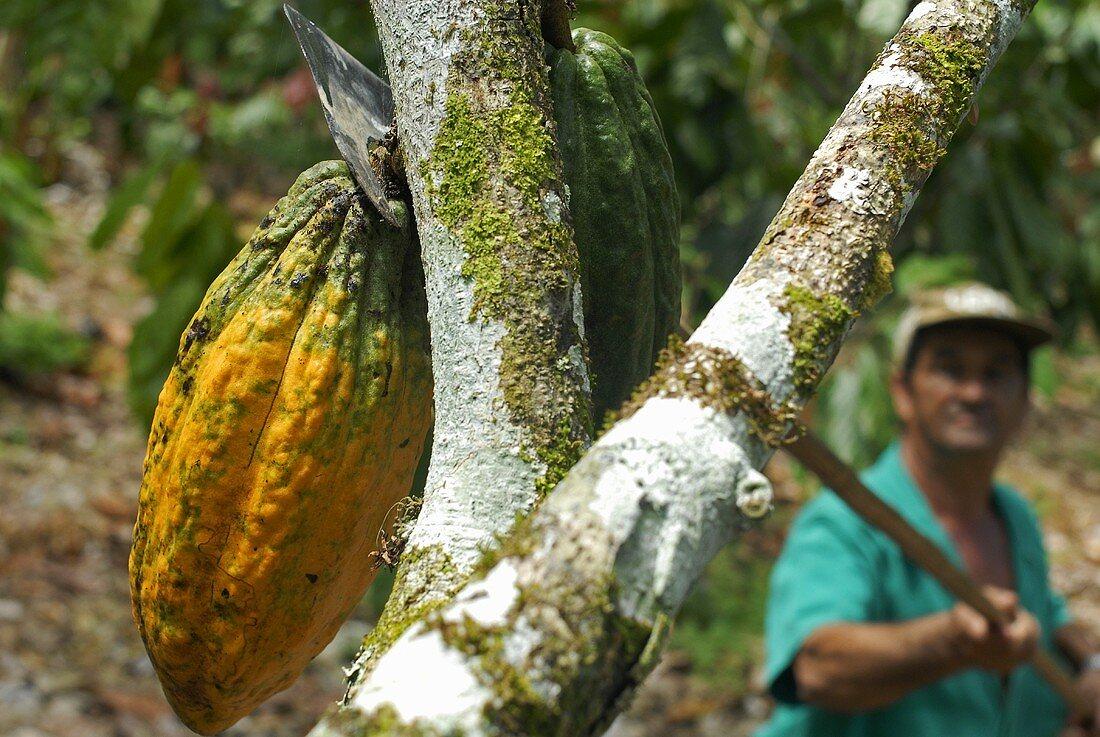 Kakaoernte: Arbeiter mit Erntemesser (Süd-Bahia, Brasilien)