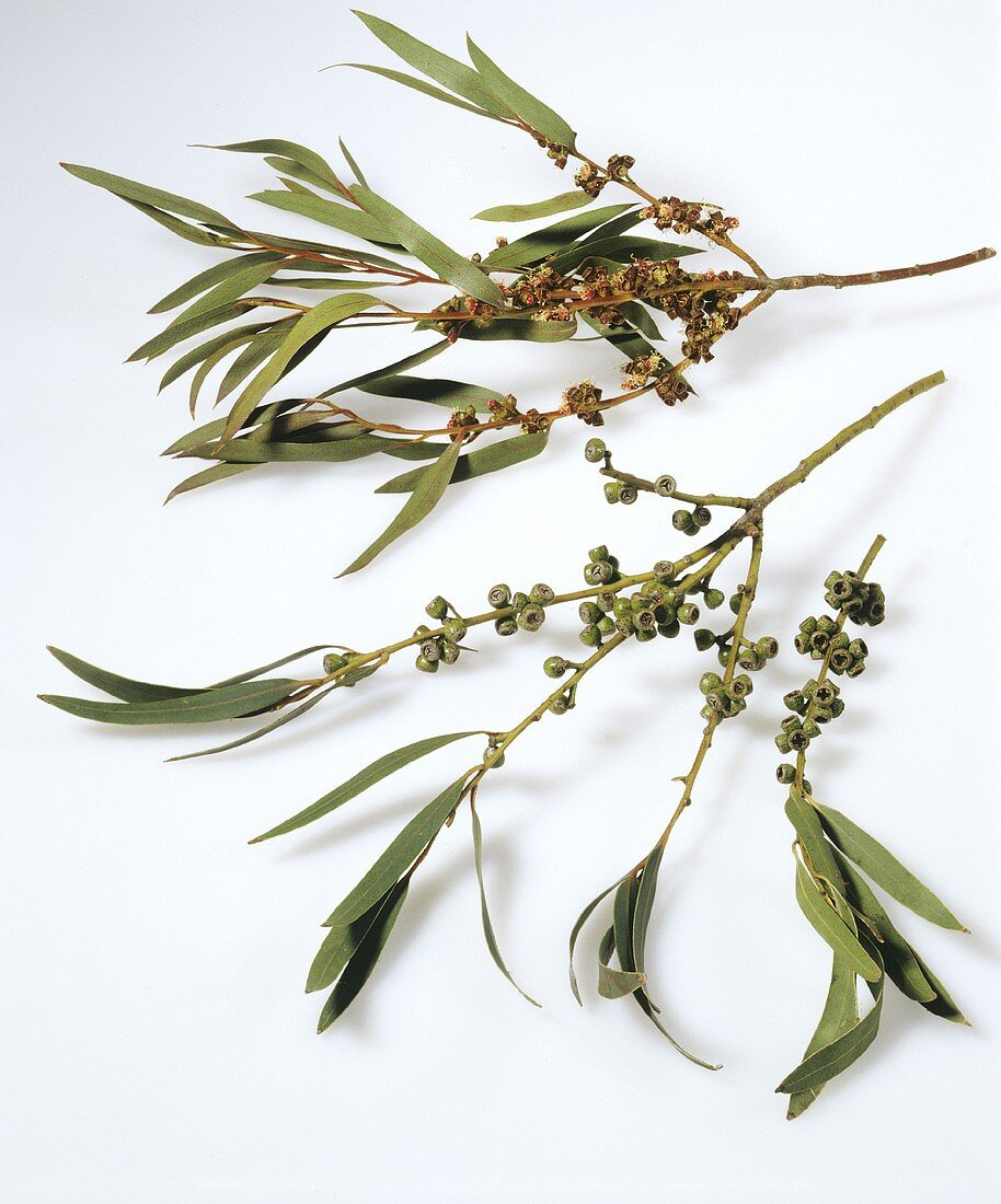Eucalyptus twigs with fruits
