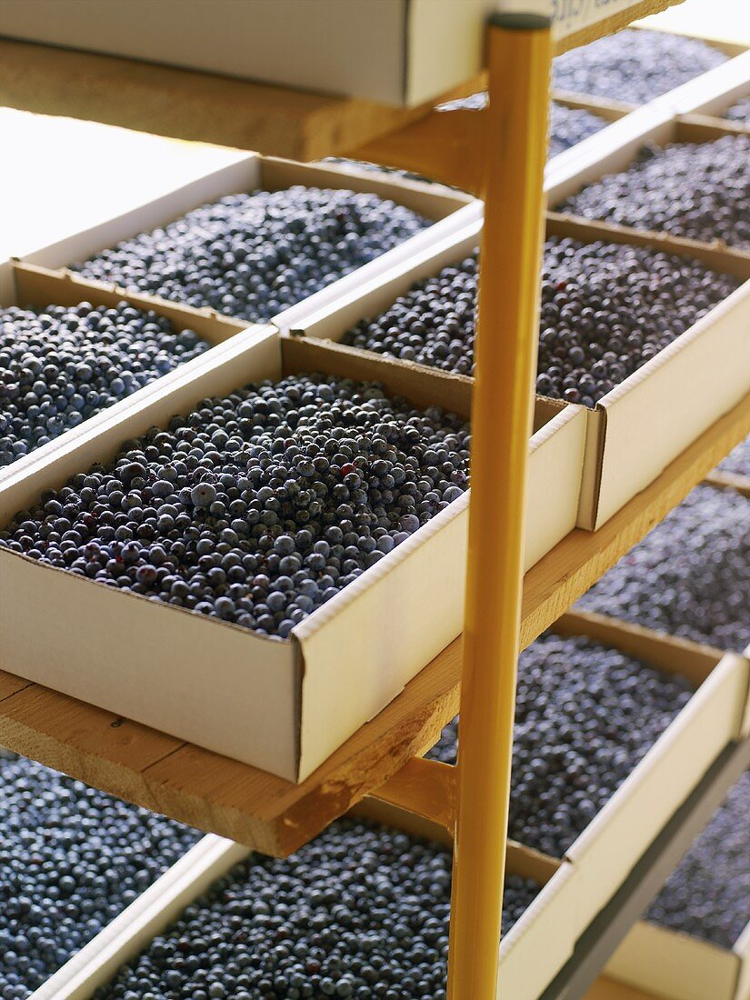Blueberries in cardboard boxes on wooden shelves