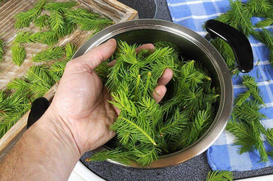 Making spruce tip syrup (Picea abies)