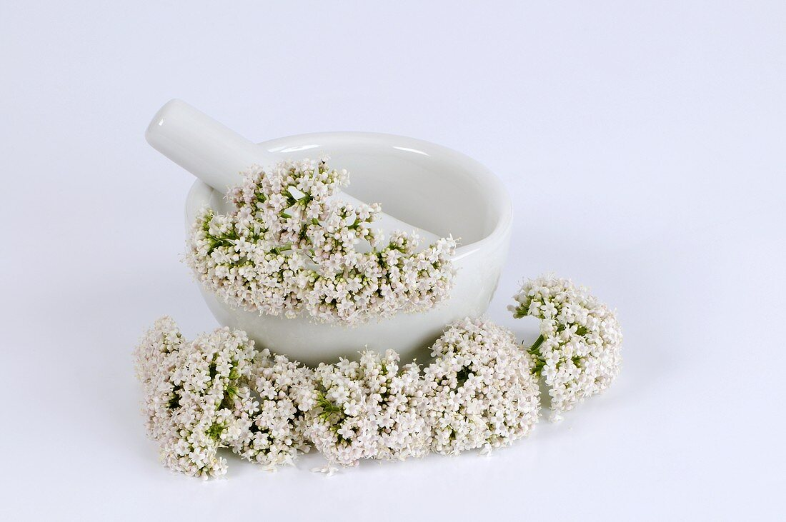 Mortar with valerian flowers (Valeriana officinalis)