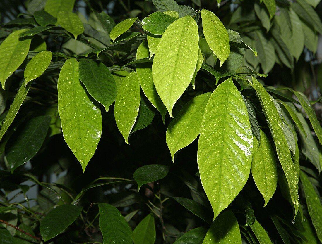 Leaves of the coffee bush (variety: Arabica)