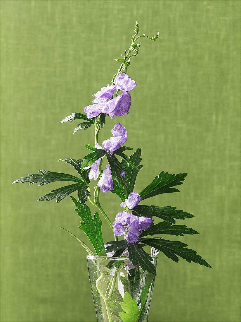 Monkshood, flowering