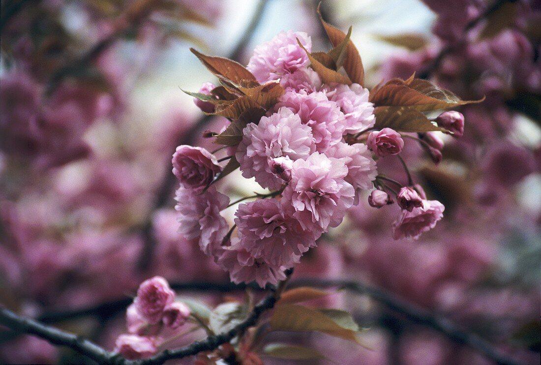 Flowering almond tree