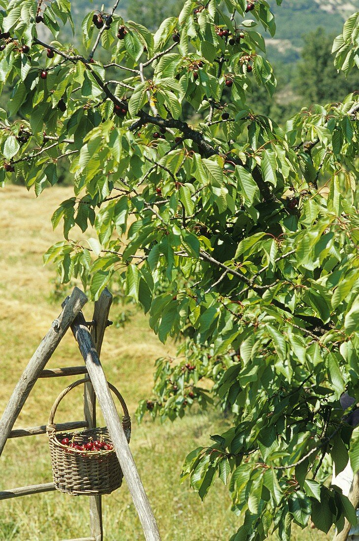 Basket of cherries hanging on a ladder under a cherry tree