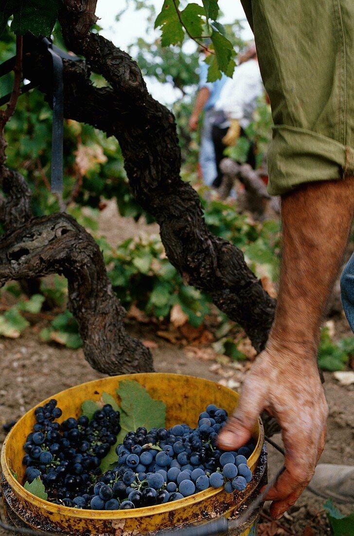 Harvesting Primitivo grapes from an old Alberello bred vine