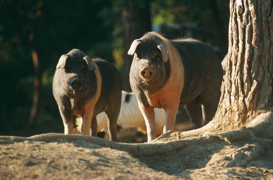 Cinta Senese: old Italian breed of pigs