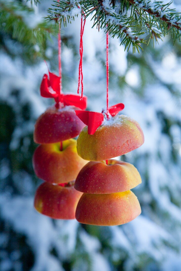 Apple slices hanging from a pine tree on a red thread