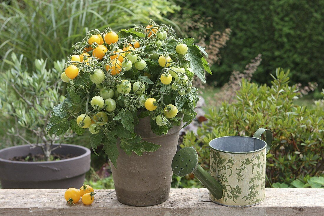 Yellow vine tomatoes in a garden with a watering can