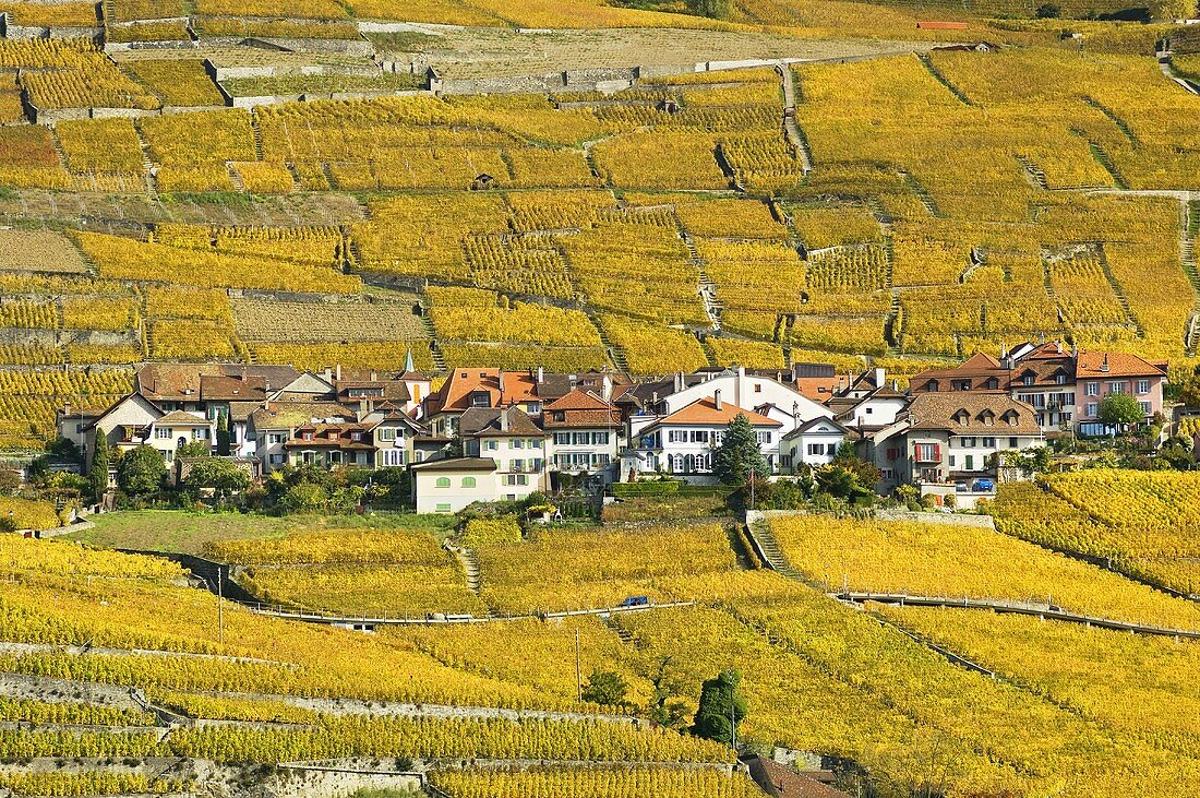 The wine village of Epesses amongst golden vineyards, Switzerland