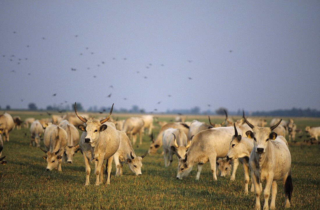 Graurinder (Grey cattle) grazing, Neusiedlersee National Park, Austria