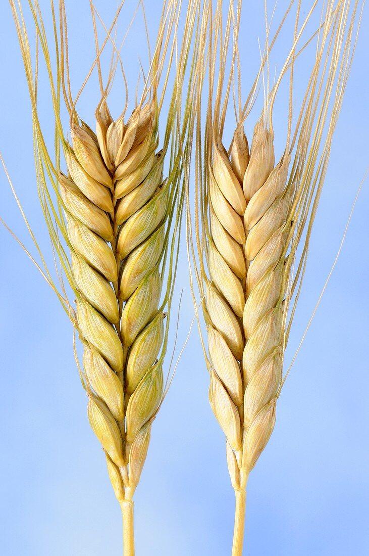 Emmer wheat (Triticum dicoccon), also known as farro