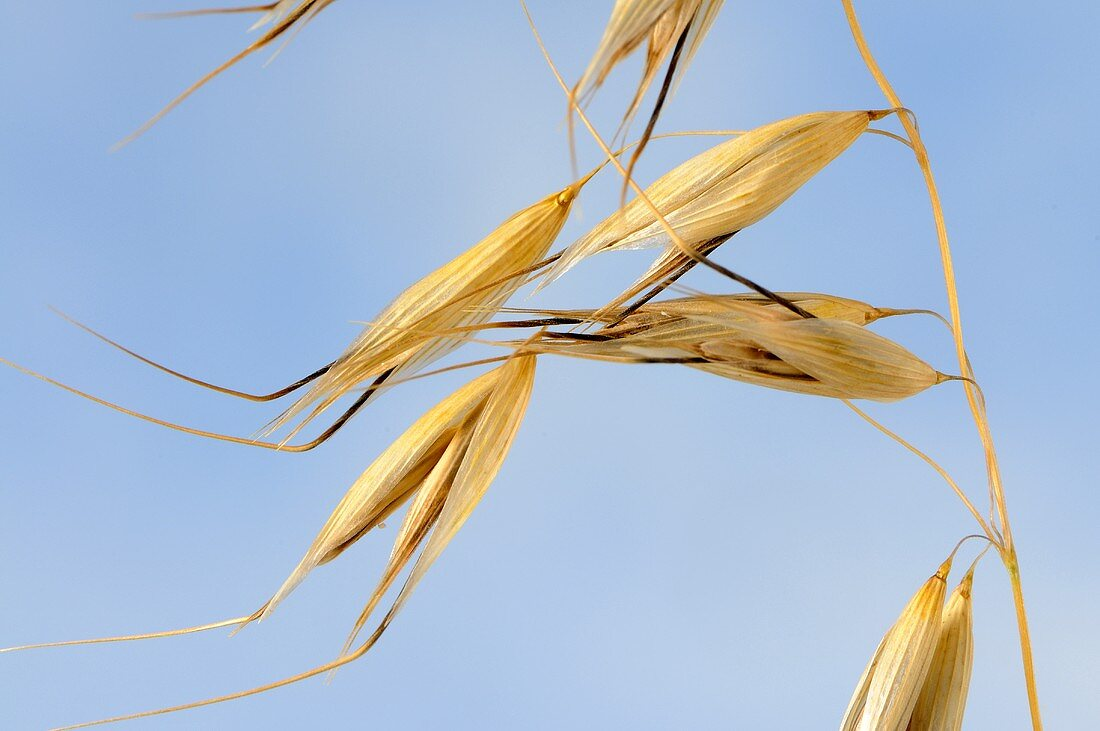 Bristle oat (Avena nuda ssp. strigosa)