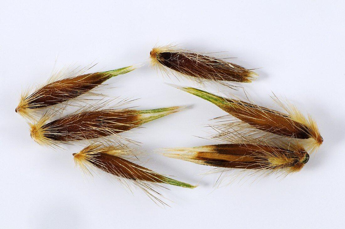 Wild oat (Avena fatua)