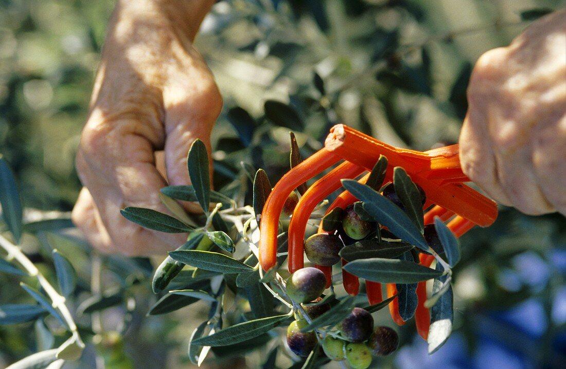 Oliven werden mit kleinem Rechen von den Ästen gestreift