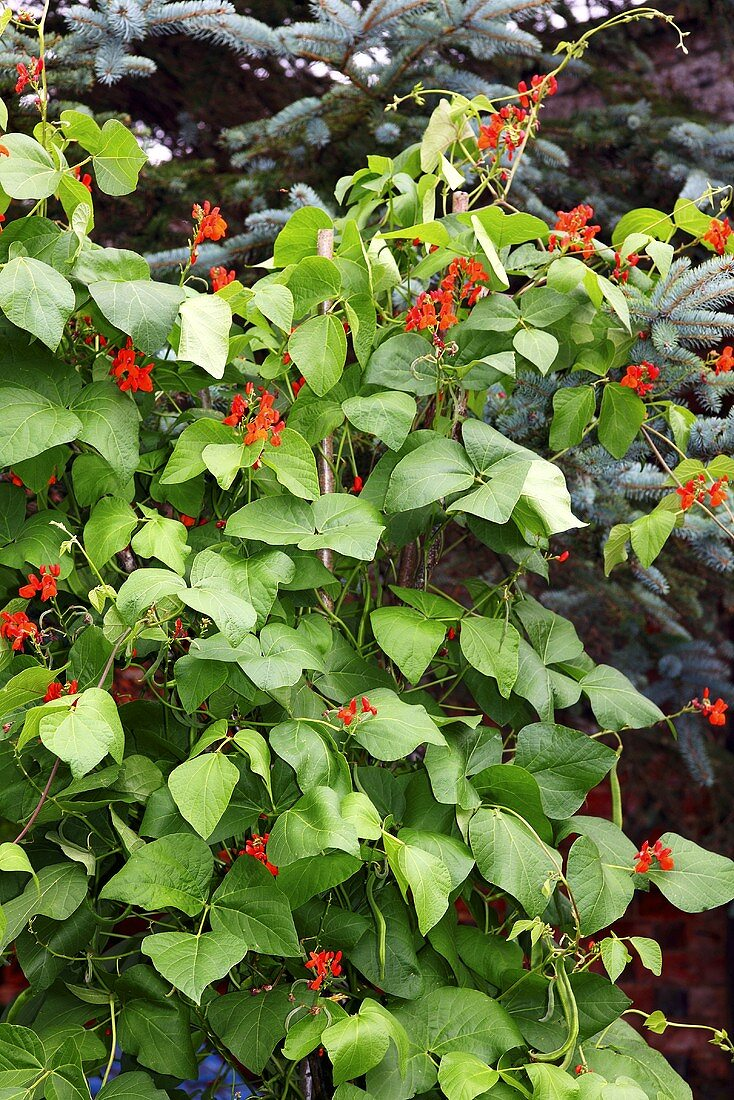 Bean plants in a garden