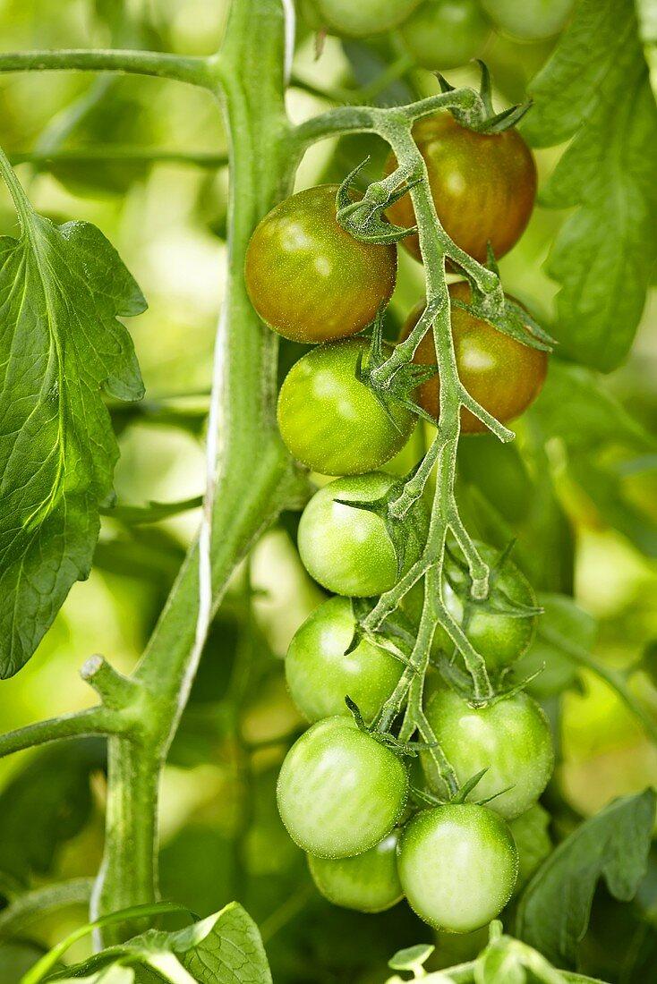 'Green Grape' organic tomatoes