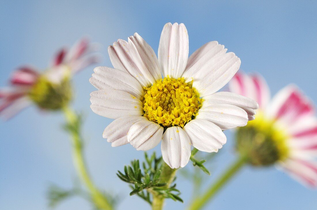 Mountain atlas daisies (anacyslus pyrethrum)