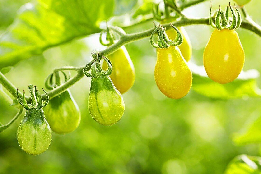 'Yellow Submarine' organic tomatoes