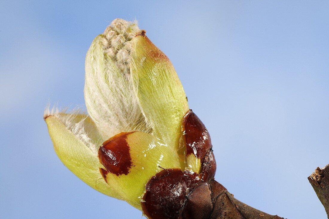Rosskastanien-Knospe (Aesculus hippocastanum)