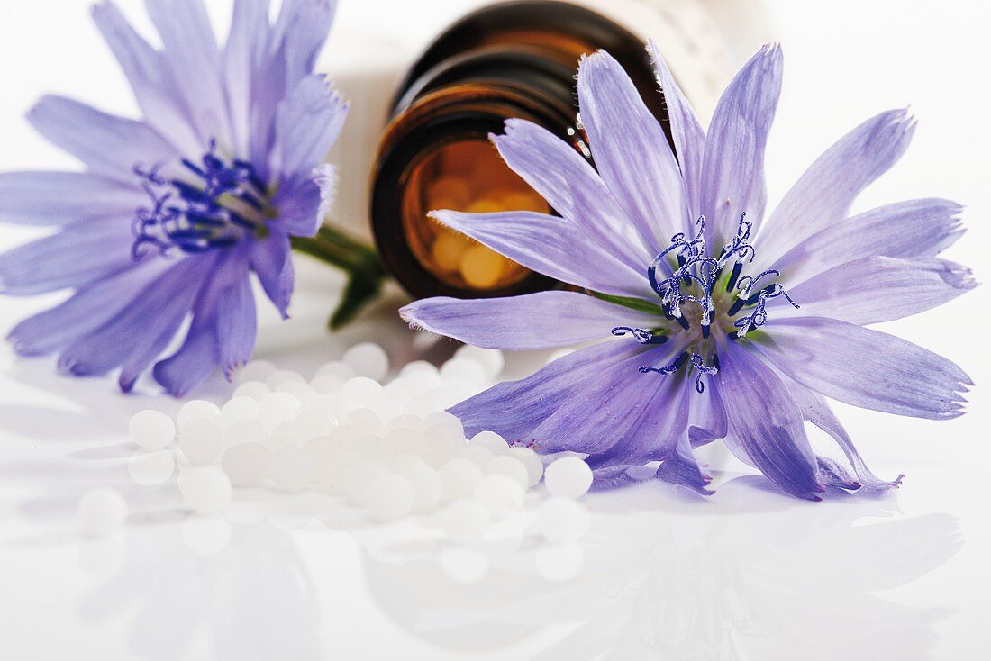 Chicory flowers and globuli (pellets, Bach flowers)