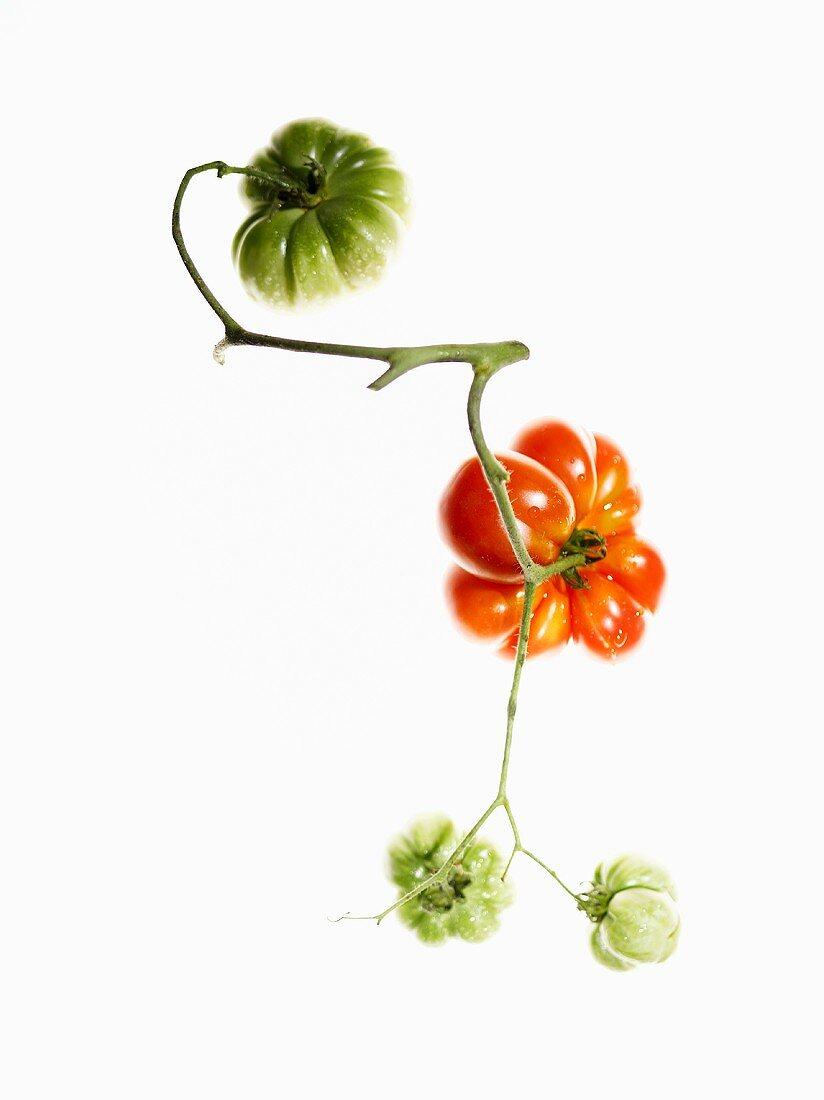 Organic tomatoes (variety Reisezehentomate)