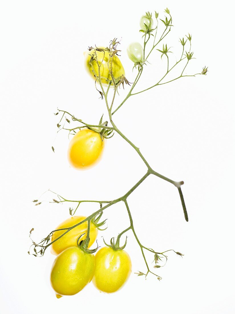 Organic yellow tomatoes (variety Teton de Venus)
