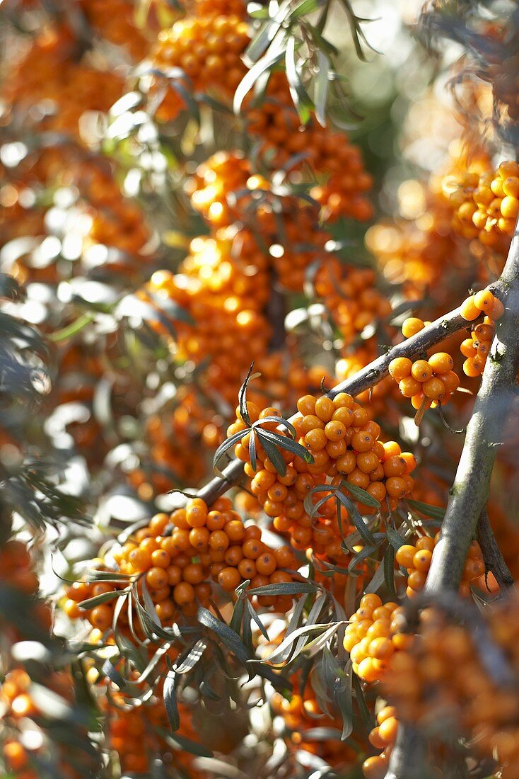 Sea buckthorn bush (detail)
