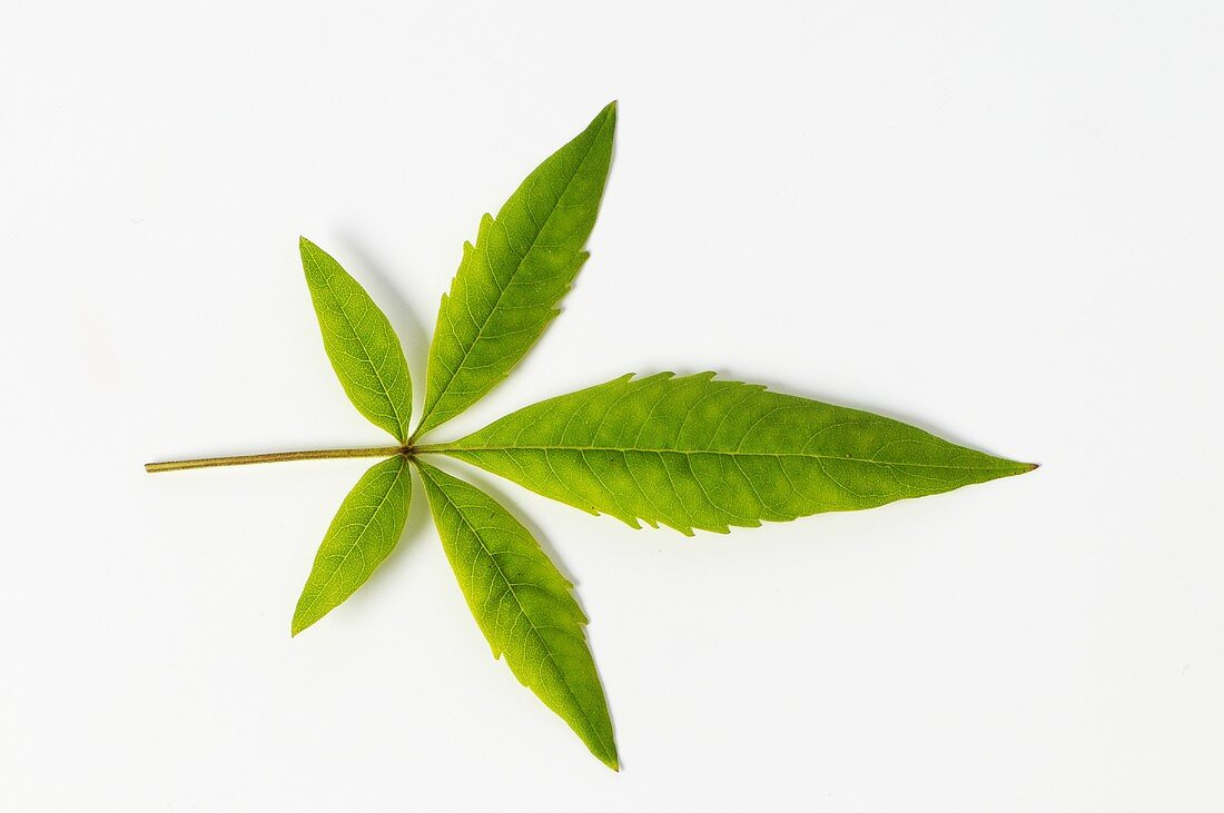 Leaf of Chinese chaste tree