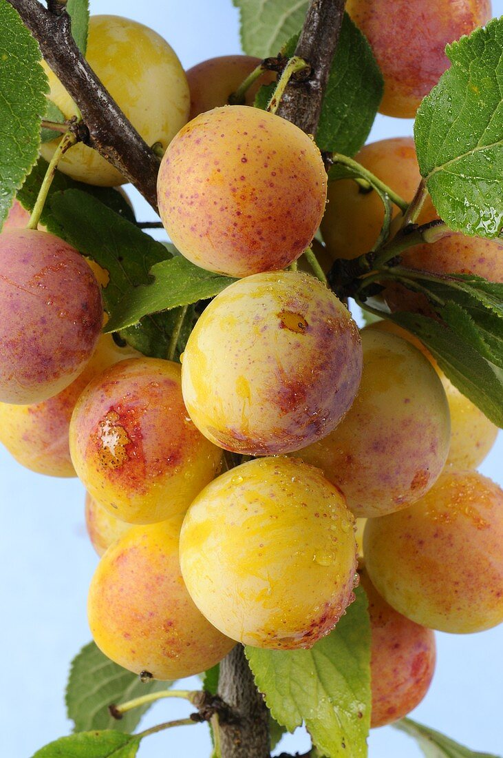 Yellow plums with drops of water on the branch