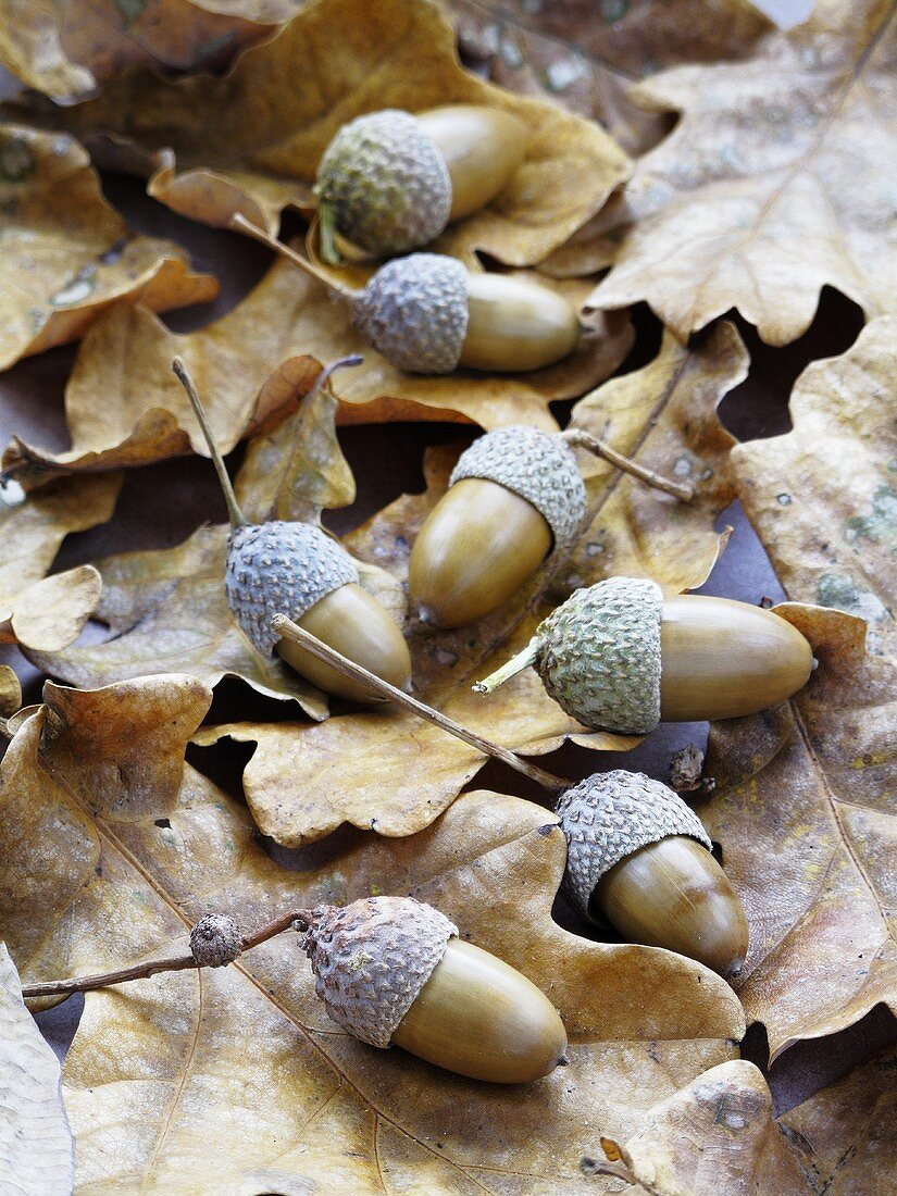 Acorns on dry oak leaves