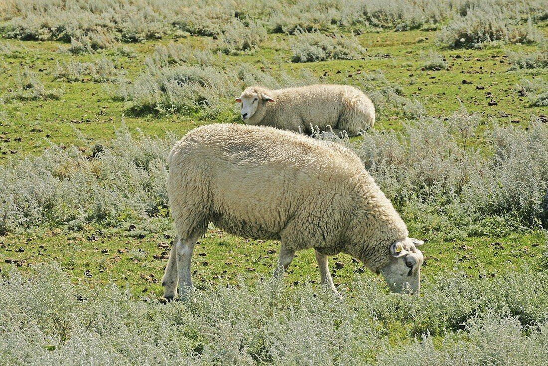 Salt marsh lambs grazing