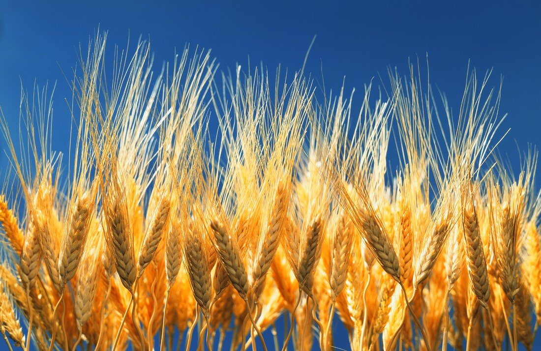 Ears of barley against a blue background