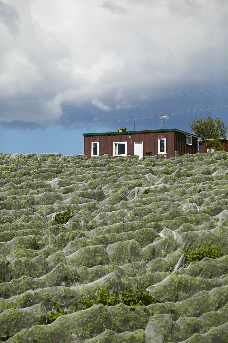 Vineyard with bird netting, New Zealand