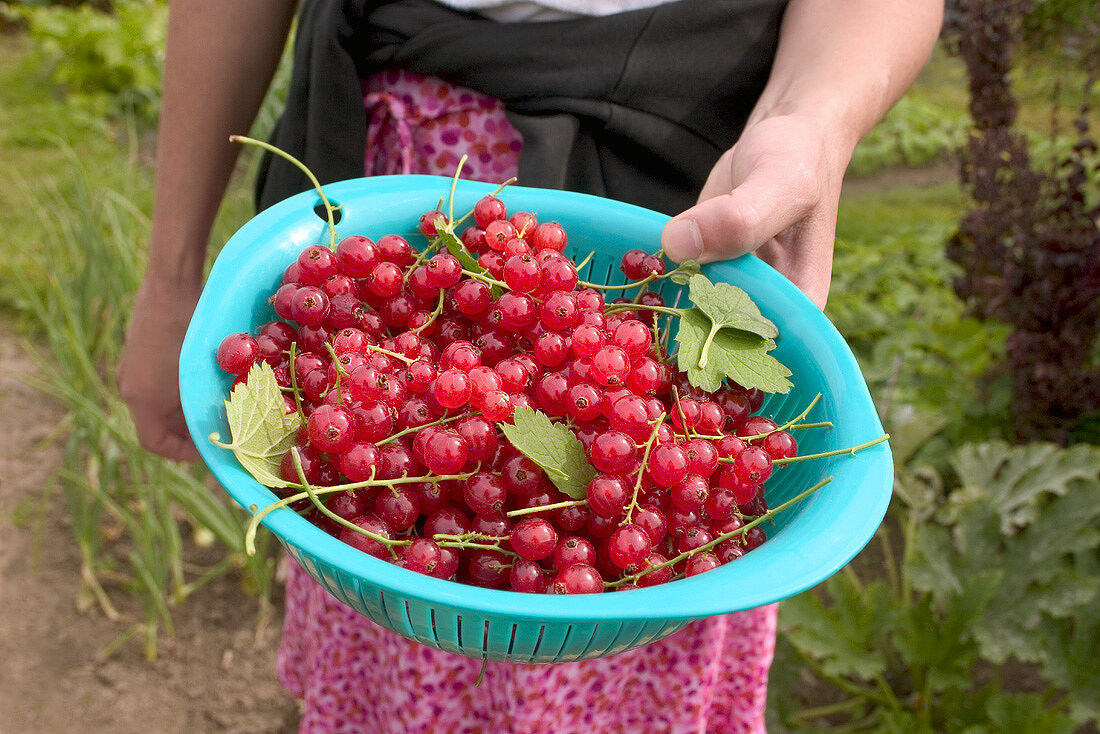 Hand holding a dish of freshly picked redcurrants