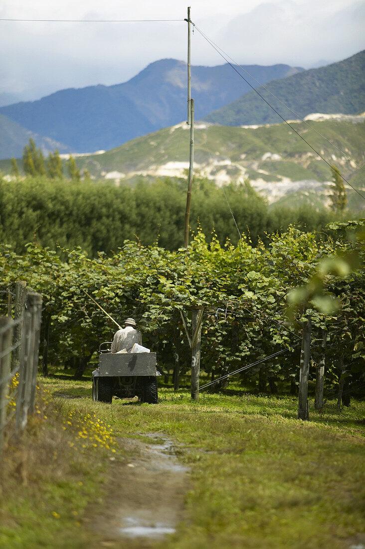 A kiwi fruit plantation in New Zealand