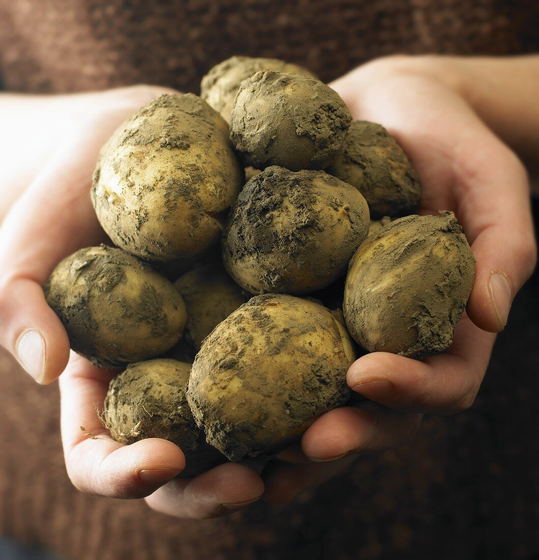 Hands holding new potatoes, variety 'Maris Piper'