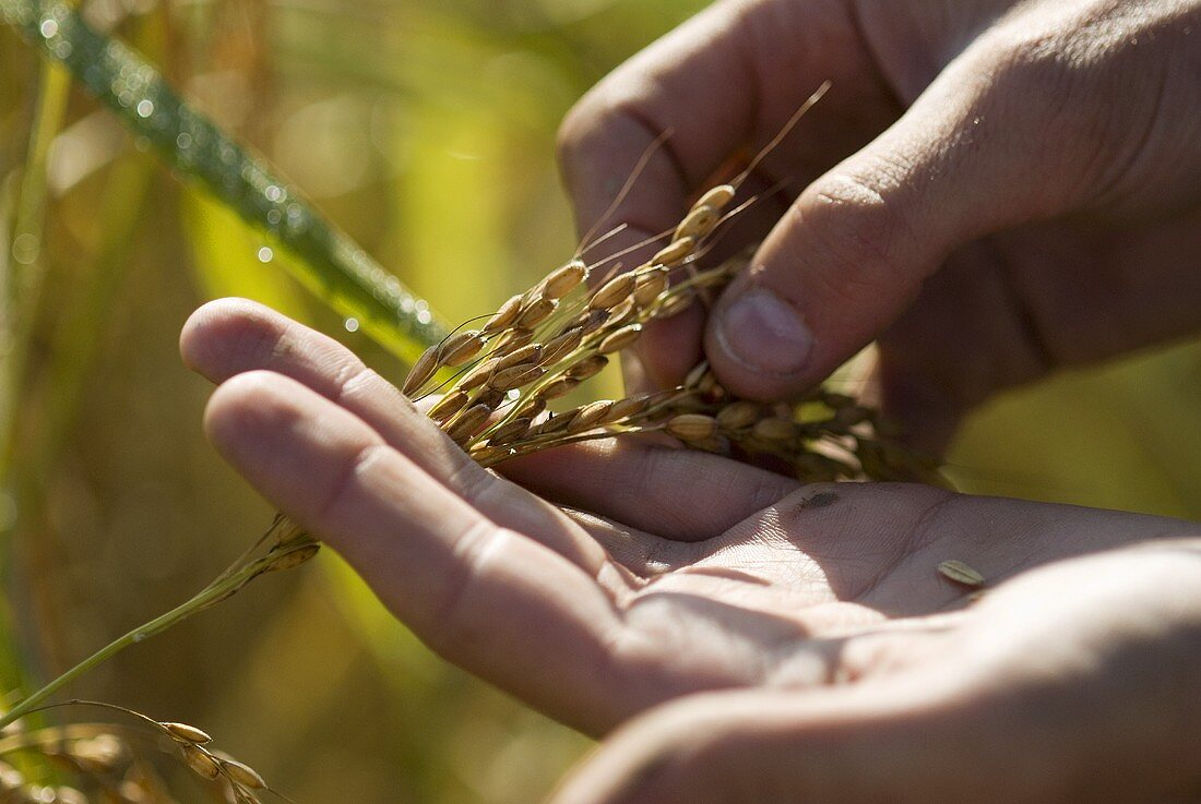 Stripping the grains of rice from an ear of Carnaroli rice