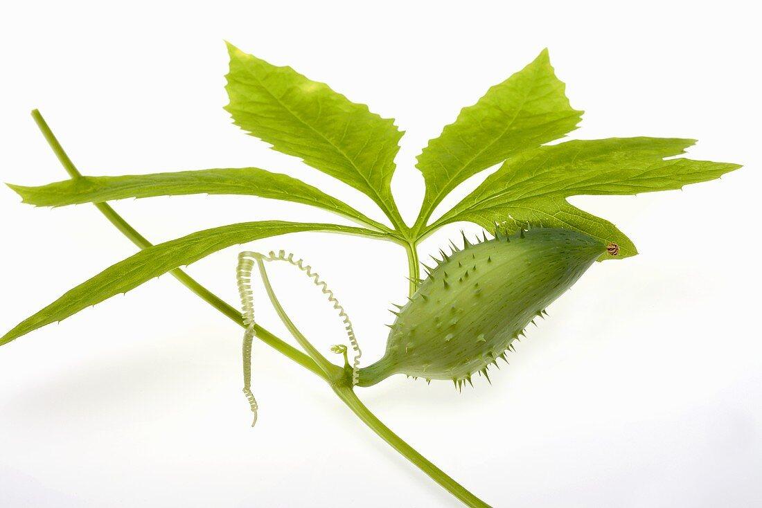 Caigua (Cyclanthera pedata)