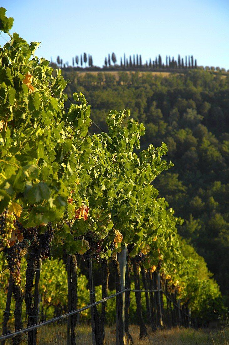 Vineyard of Villa Pillo Estate, Tuscany, Italy